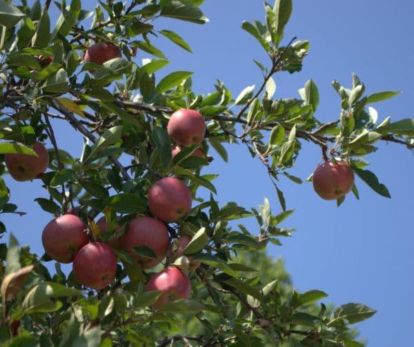 """פרויקט """"הדברה ירוקה"""" שמטרתו להילחם במזיקים ובמחלות בענף הפירות - מיזם חדש ביוזמת מועצת הצמחים"""
