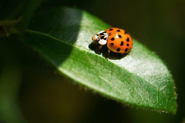 חיפושיות הקצב